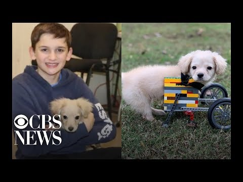 None - #GoodNews: Puppy Born Without Front Legs Gets Custom Lego Wheelchair