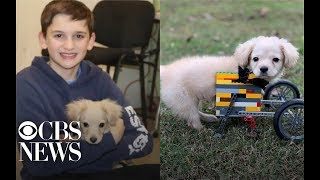 12-year-old boy builds Lego wheelchair for dog born without legs