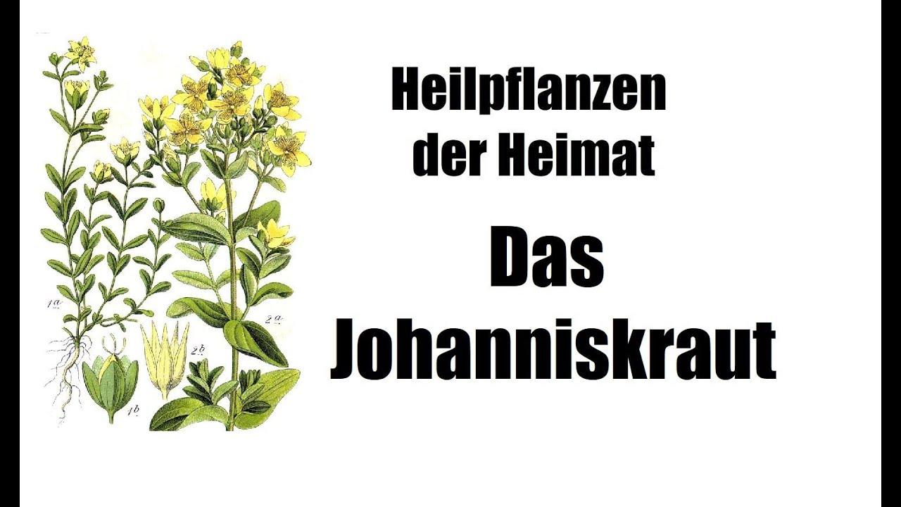Heilpflanzen der Heimat: Das Johanniskraut (Depression, Neurodermitis und mehr)