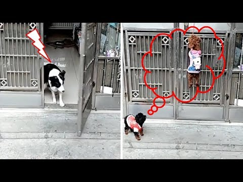 Most Intelligent Dog Open and Close Doors for his Friend Dogs