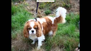 The Adorable Cavalier King Charles Spaniel
