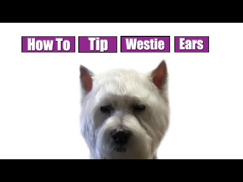How To Tip Westie Ears