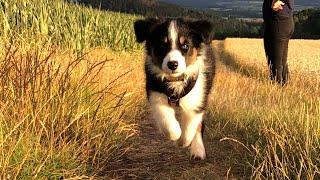 Australian Shepherd Puppy growing up from 8  12 weeks