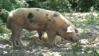 92 un gros porc mâle reproducteur bio de plus de 300 Kg et sa femelle BIO