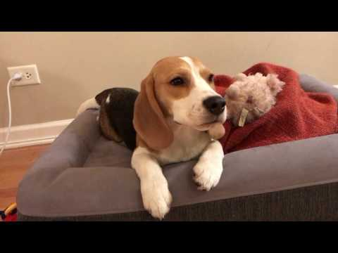 Adorable beagle puppy knows how to look adorable