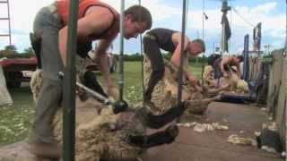 Blood, Sweat & Shears - The Gritty reality of Sheep Shearing HD2 (Trailer for DVD)