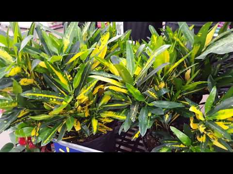5 tips to take care of a Croton Plant   Donna Joshi