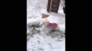 Westie Crazy For Snow