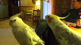 Cockatiel still whistling andy Griffith theme song