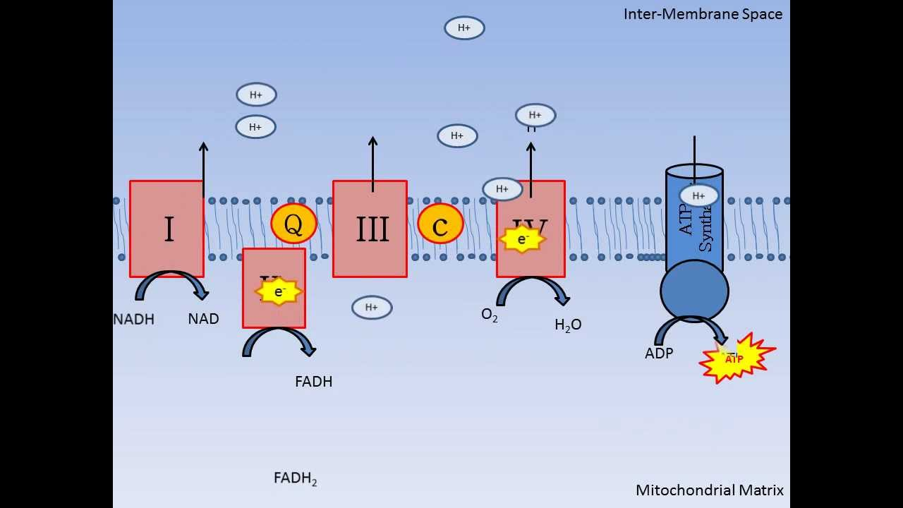 Mitochondrial Respiration And Oxidative Phosphorylation