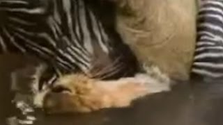 【珍事】ライオンを溺れさせて逃げ切るシマウマ 【関連動画】 トルコの...