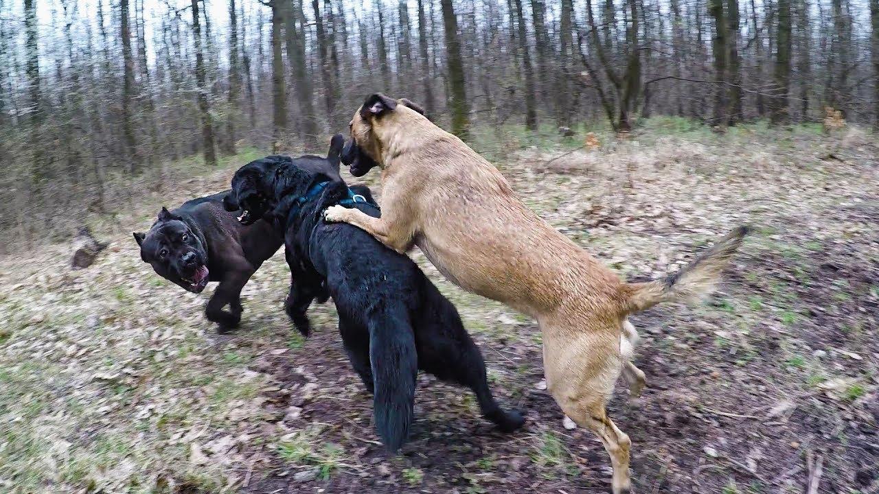 Cane Corso Vs Labrador Vs Belgian Malinois Youtube
