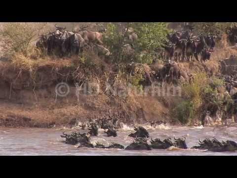 Das große Gnu Spektakel am Mara River