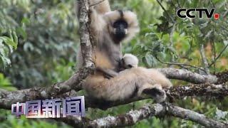 [中国新闻] 云南无量山喜添西黑冠长臂猿宝宝 | CCTV中文国际