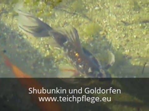 goldorfen und shubunkin im sauberen teich youtube