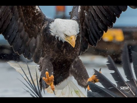 The fiercest Eagles of the Aleutians - Amazing Trip Report LIVE