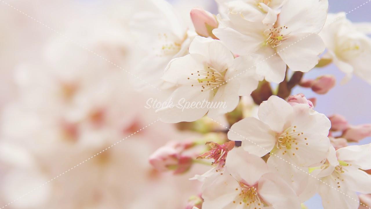 cherry blossom 0006m pl