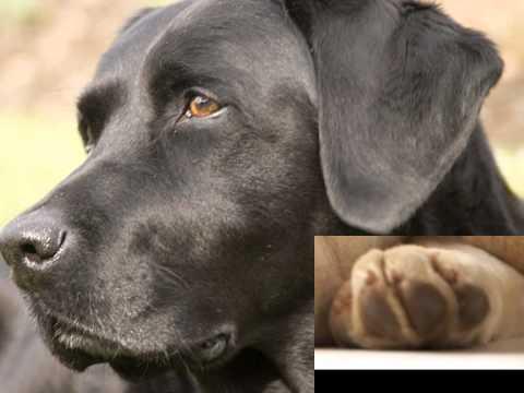 Tribute to Labrador Retrievers