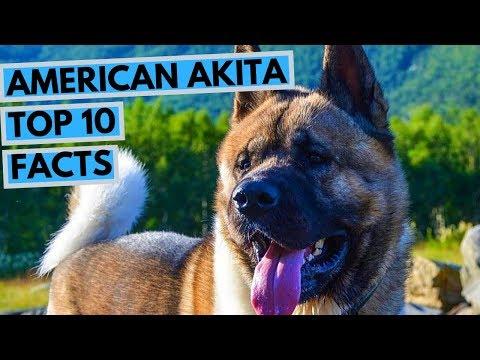 American Akita - TOP 10 Interesting Facts