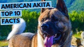 American Akita  TOP 10 Interesting Facts