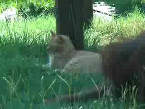 Thumbnail for Cat Video Orangutan and Cat Cohabitating