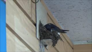 説明 ツバメ夫婦が当店で巣作りを始めたので 記録したいと思います。 BG...
