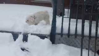 Pugapoo Playing In The Snow