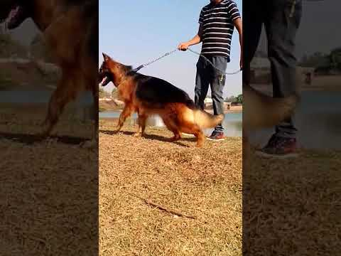 Double Coat German Shepherd At Our Farm | Pure & Heavy Bone | Show Line & Healthy GSD | Active GSD❤
