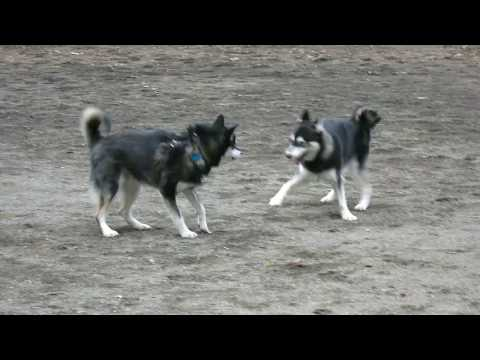 Alfie the Alaskan Klee Kai & Ziggy the Pomsky
