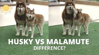 Husky vs Alaskan Malamute Difference | Husky in India | Malamute in India