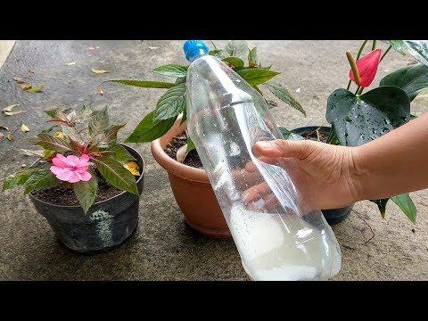 Solo un vaso de Agua de Arroz en el Jardín y te SORPRENDERÁS de los Resultados