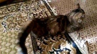 Что происходит с кошкой когда у нее течка(В данном видео показано, что происходит с кошкой во время