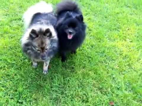 099  GERMAN SPITZ KLEIN DOGS