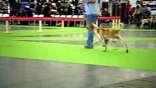 World Dog Show  Bracco Italiano  Gunstrux Peppermint Patty