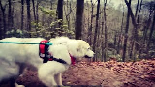 Great Pyrenees goes hiking