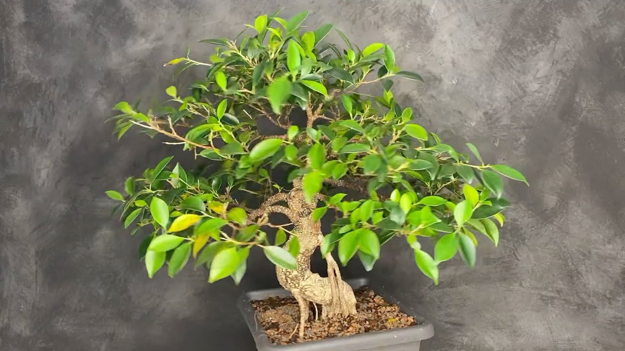 Rescue Overwatered Ficus Plants And Bonsai With Yellow Leafs Youtube
