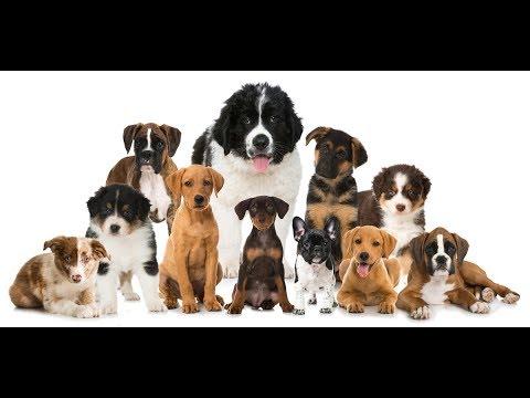 TOP 10 nejoblíbenějších psích plemen