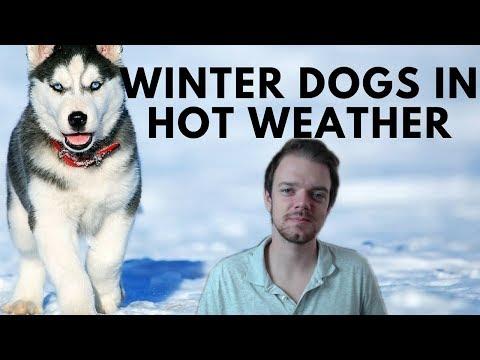 Can Winter Dogs Live in Warm Climate Areas? Siberian Husky - Akita - Alaskan Malamute