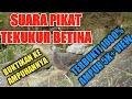 Suara Tekukur Derkuku Betina  Cocok Buat Pikat Dan Hunting  Mp3 - Mp4 Download