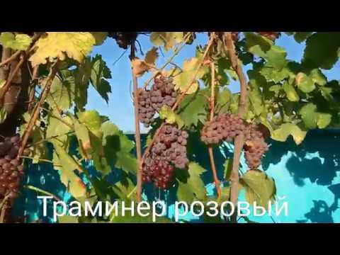 Как сделать вино из розового винограда