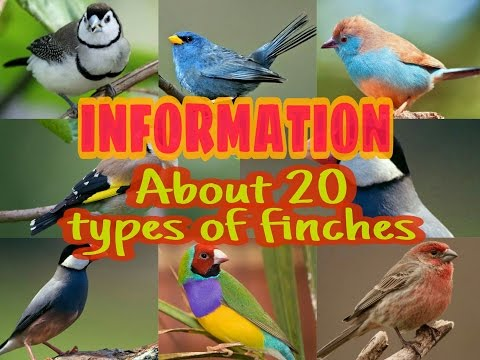20 TYPES OF FINCH SPECIES