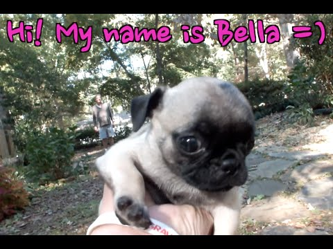 CUTEST BABY PUG YOU WILL EVER SEE