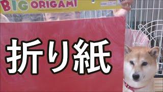 柴犬小春 おっきい折り紙で『蓮の花』に挑戦!fold a piece of paper into the figure of a Lotus flower. thumbnail