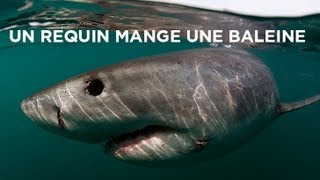 Un requin mange une baleine