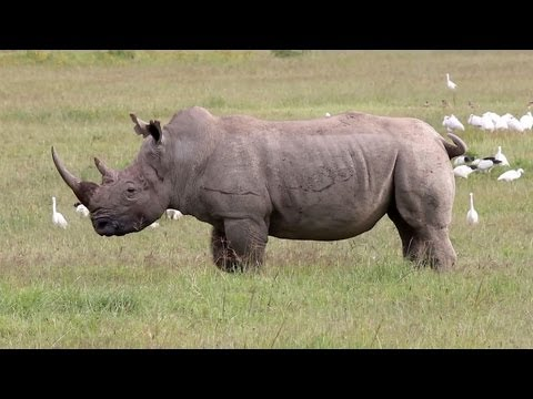 Africa's 'Big Five' Game Animals! Elephant, Lion, Leopard, Rhinoceros, and Buffalo: Video
