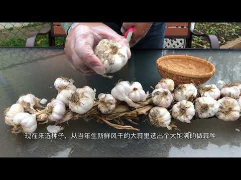 【彬彬有院】 种•   如何在深秋季节种大蒜/How to plan Garlic