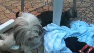 Puppy Dachshund X Shih-tzu X Cat (roud V)