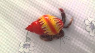 how to tell if your hermit crab is a boy or girl