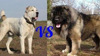 Кавказская овчарка против Алабая. Caucasian Shepherd against Alabai. Собаки.