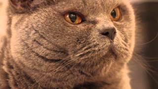 Британский кот Мася